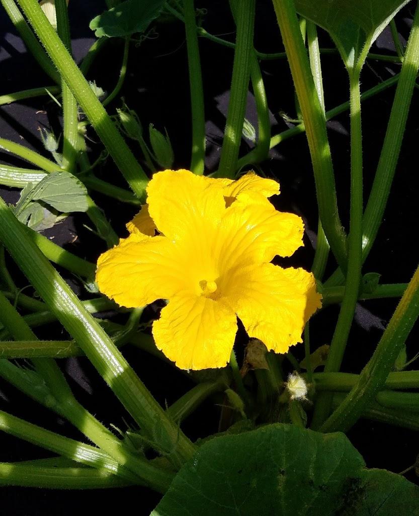 Anasazi squash blossom